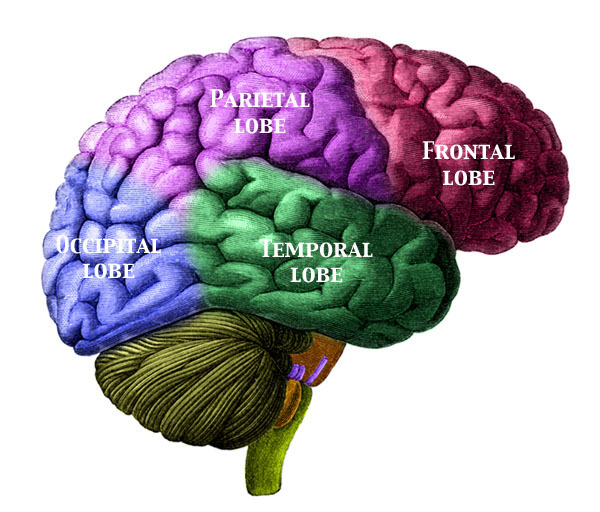 Brain+labeled+diagram